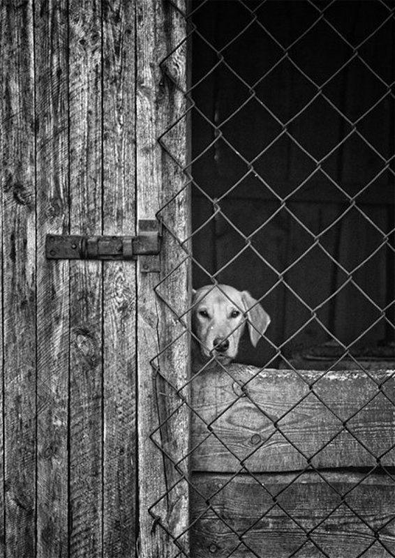 собака, взгляд, решетка, ограда, чб, грусть Ожиданияphoto preview