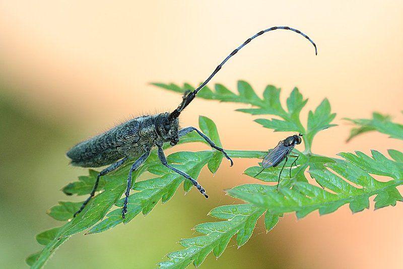 усач, скрипун, и, муха, цветочная ... Какие крылышки, какие ножки!!!photo preview