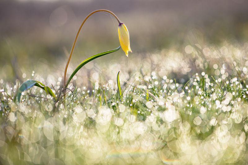 цветы,цветок,макро,растения,тюльпан,природа,бокэ,роса Купаясь в росеphoto preview