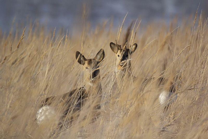 природа животные косули Косулиphoto preview