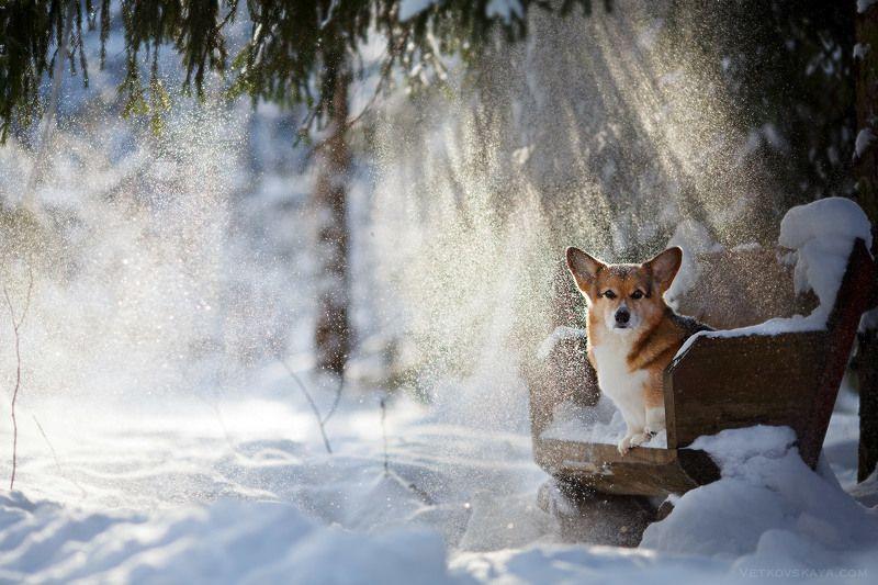 лес, корги, зима, снег, собака, лавочка В сказочном лесуphoto preview