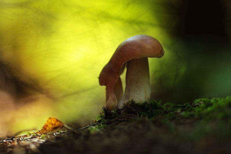 Белые грибы. Тройняшки.photo preview