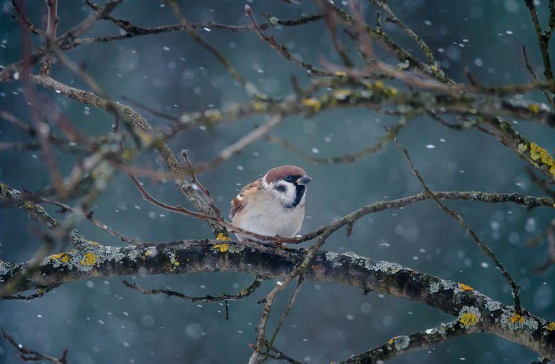 полевой воробей,январь,снег,пасмурно,воробушек,зима,2018 год,passer montanus В метелиphoto preview