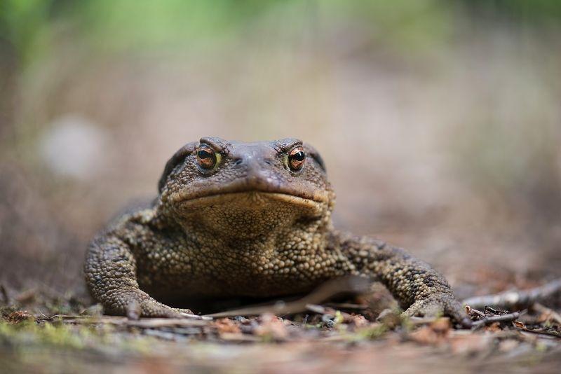 Серая жаба (Bufo bufo)photo preview