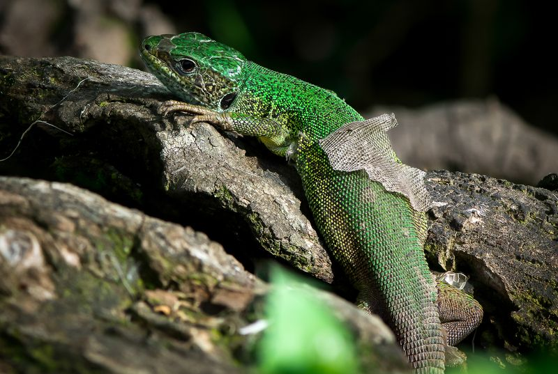 macro, lizard, green, nature, animals, closeup, colorful moultingphoto preview