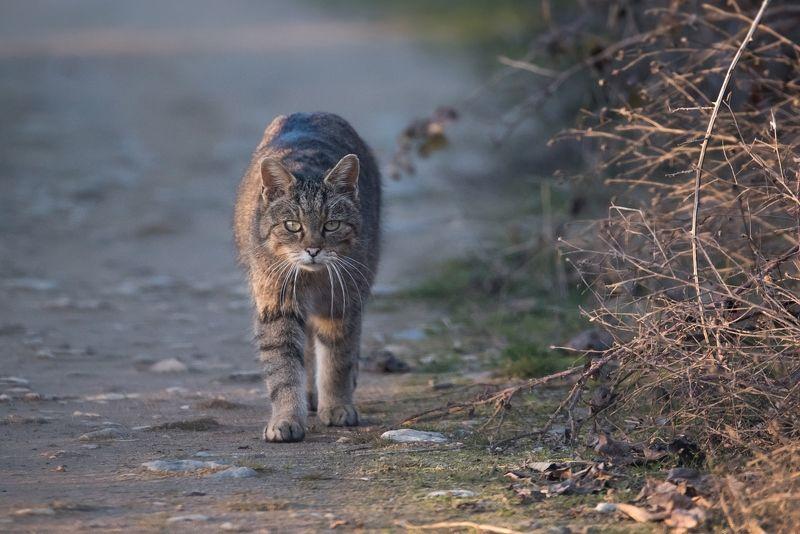 Лесной кот (Felis silvestris)photo preview
