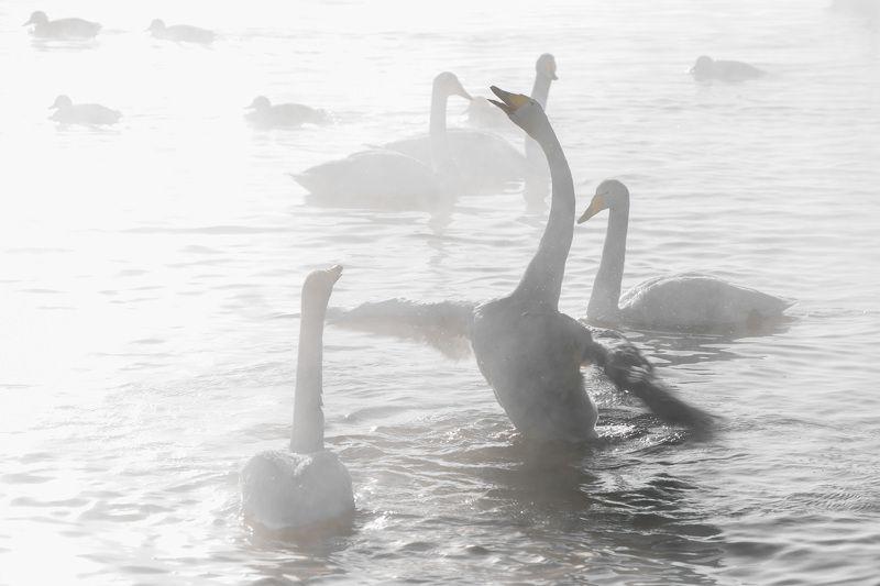 лебеди, лебединоеозеро, алтай photo preview