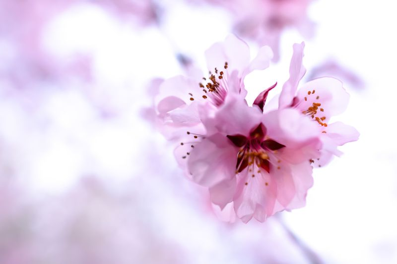 cherry flowers, cherry tree, macro, close up, pink, nature, flowers, tree blossom bosomphoto preview
