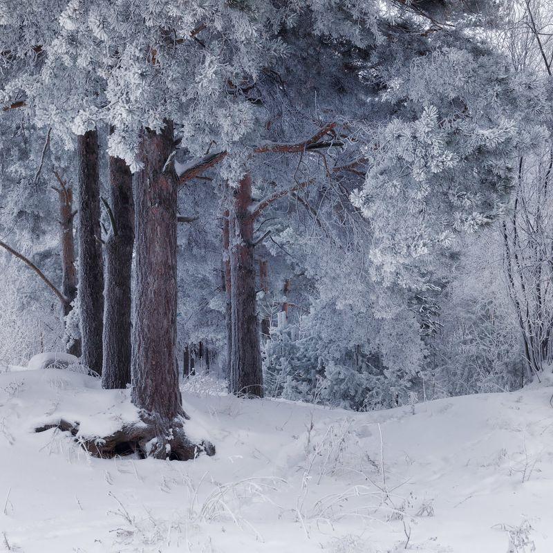 лес, зима, иней Серебряный лесphoto preview