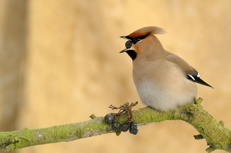 #waxwing #bird #dolina narwi Waxwingphoto preview
