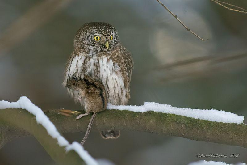 птицы, природа, сыч, eurasian pygmy-owl, glaucidium passerinum, воробьиный сыч, зима, январь, 2018, москва, гбс Удачная охота!photo preview
