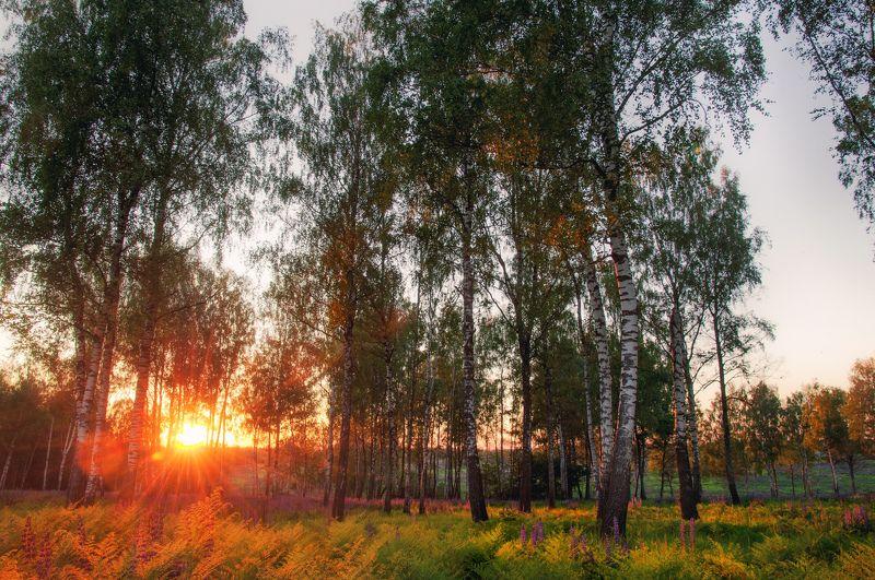 лето, березы, закат, солнце, вечер, лес, россия В березовой рощеphoto preview