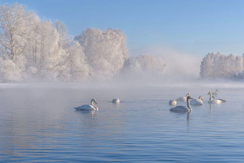 лебеди, зима, зимовка, алтай, лебединое, swans, winter, wintering, altai Лебединоеphoto preview