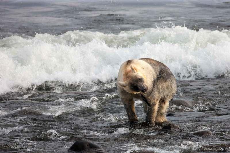 Медведь и море (Тихий океан)photo preview