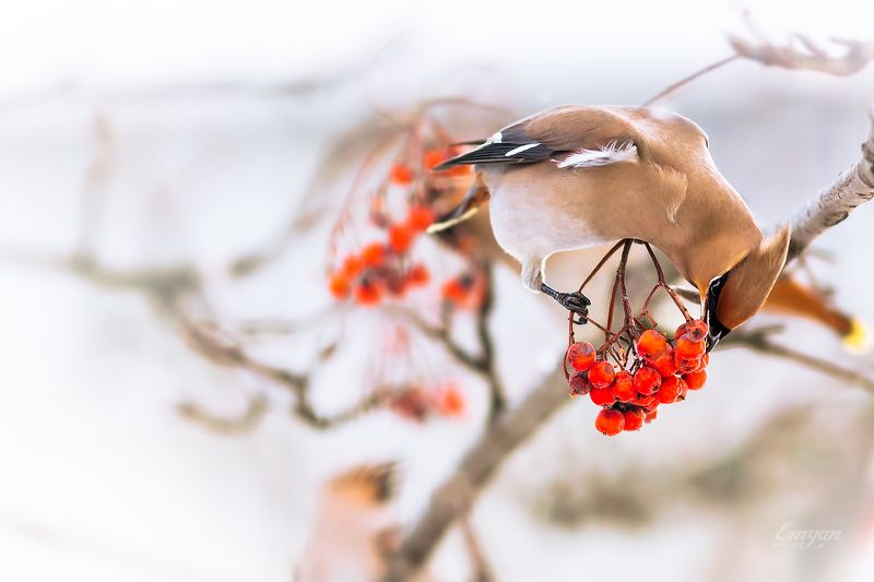 рябина, свиристель, животные, птицы, animals, bird, bohemian waxwing, berries Рябиновый завтракphoto preview