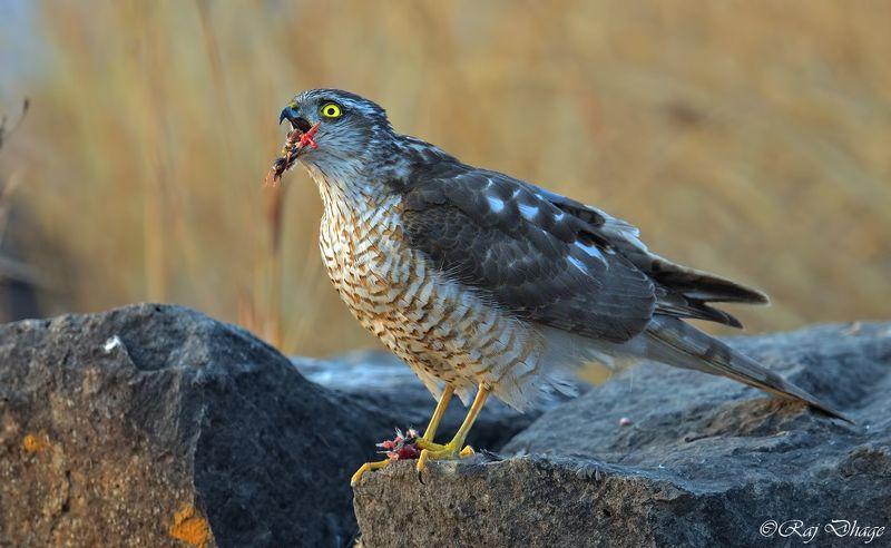 nikon d850,, Eurasian sparrowhawkphoto preview