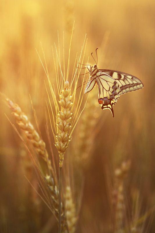 макро насекомые бабочки махаон Махаон на пшеничном полеphoto preview