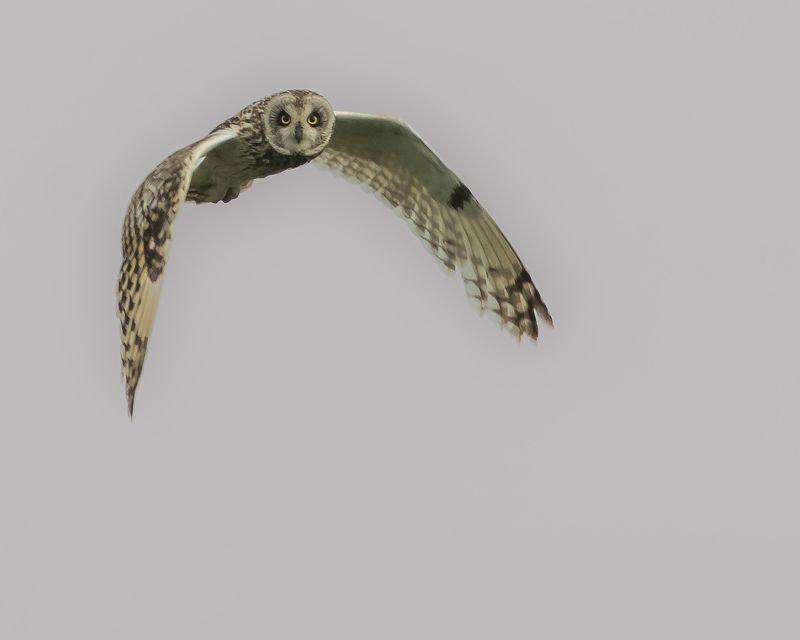 болотная сова Истребительphoto preview