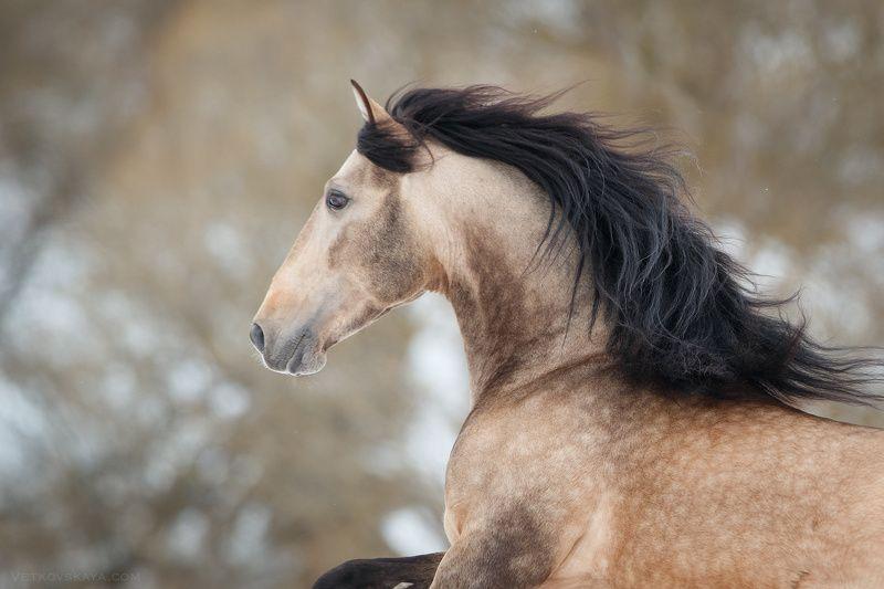 лошадь, жеребец, андалуз, зима, портрет photo preview