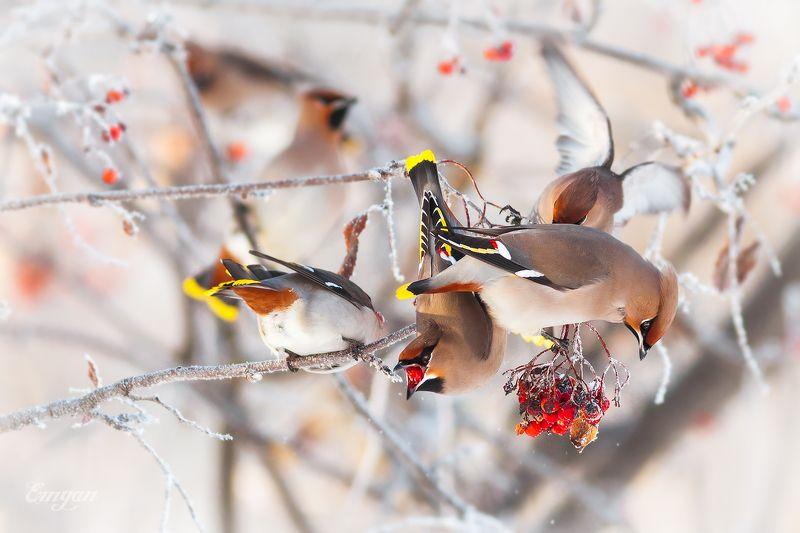 свиристель, bohemian waxwing, animals, bird, nature, птицы, ягоды, winter, зима Налетай!photo preview
