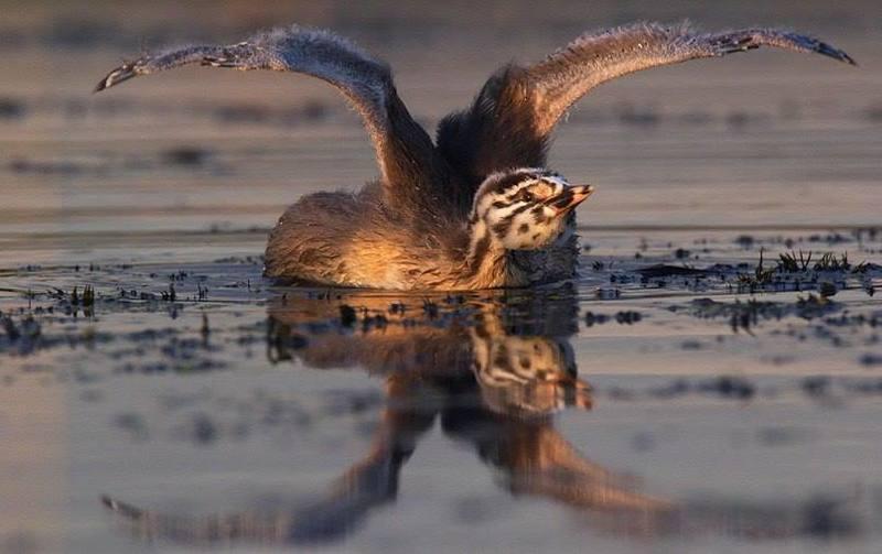 птицы чомга учимся летатьphoto preview