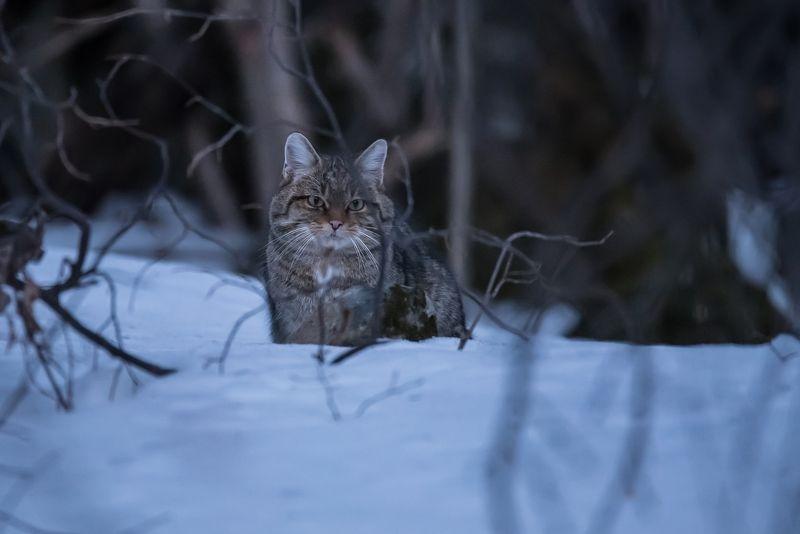 Лесная кошкаphoto preview
