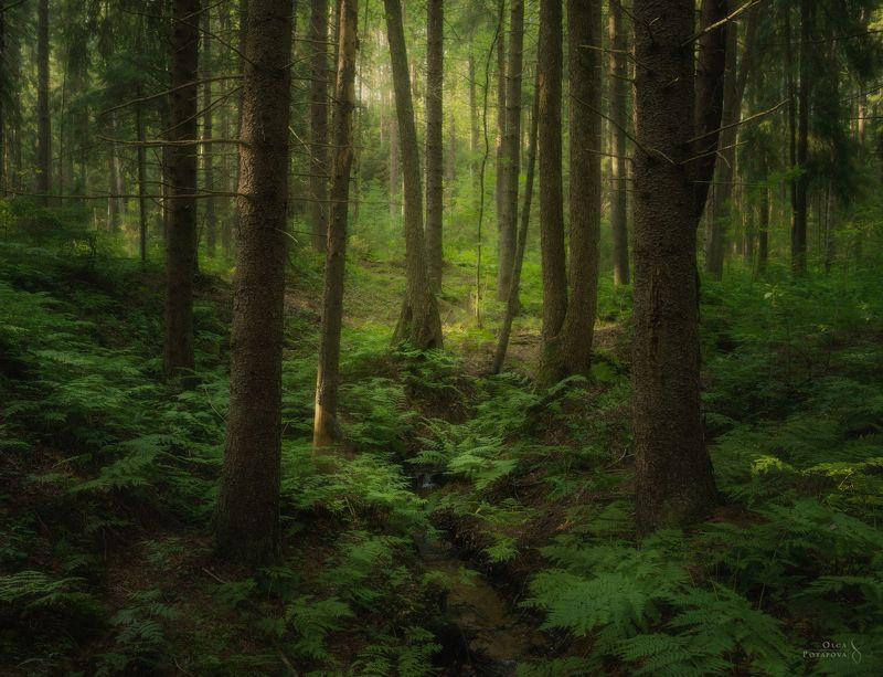 ленинградская область, лес, деревья, комарово, еловый лес, ель, зелень, лето, ручей Лес под холмомphoto preview