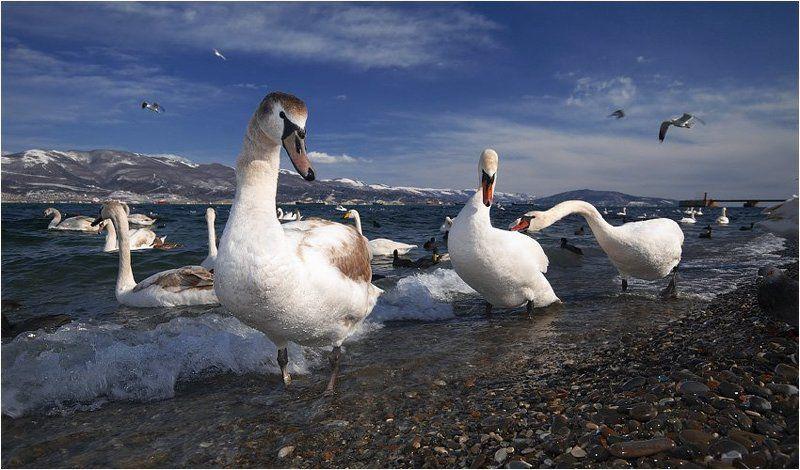 новороссийск,зима,бухта,лебеди кастинг на вылетающую из объектива птичкуphoto preview