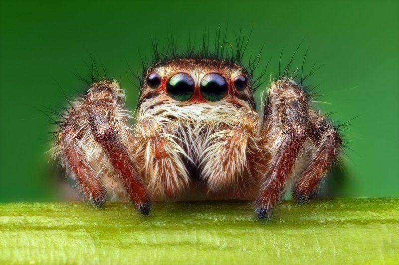 макро,паук-скакунчик Инопланетянинphoto preview