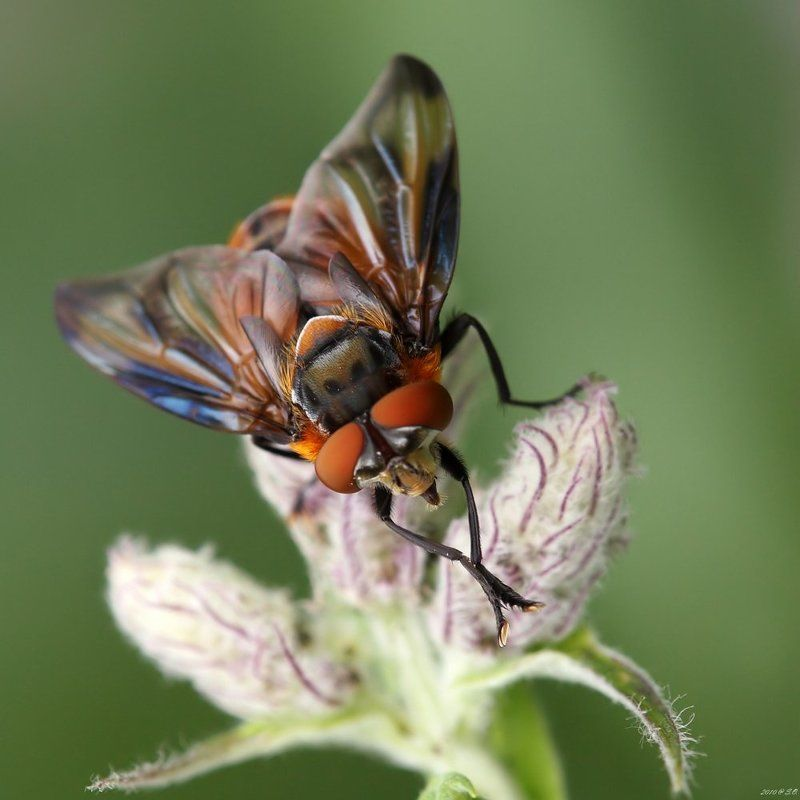 phasia hemiptera,тachinid fly,wanzenfliege,тахина Лисичкаphoto preview