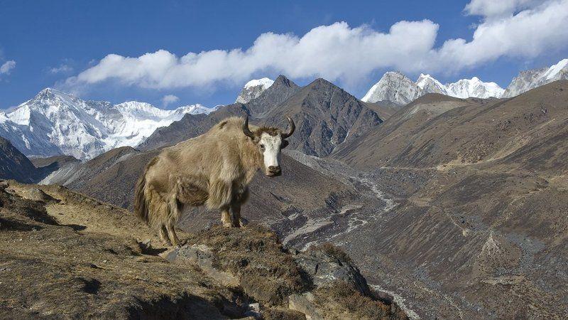 Гималайские моделиphoto preview