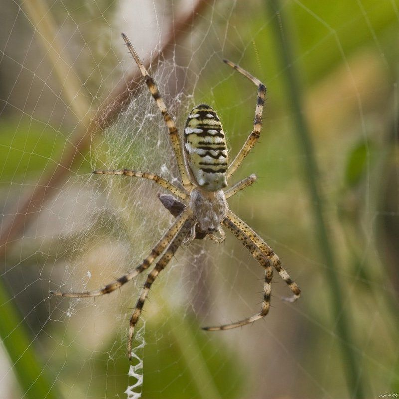 макро,аргиопа,паук-оса,wasp spider,wespenspinne,argiope bruennichi Паук-осаphoto preview