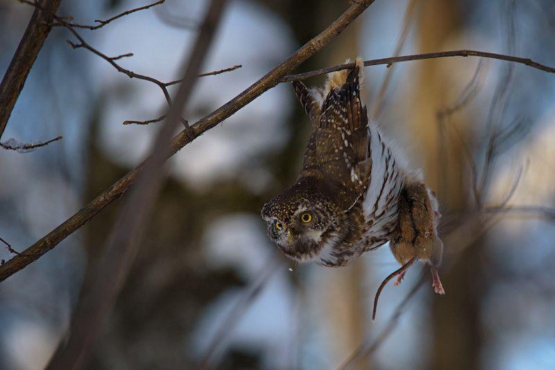 воробьиный сычик, сыч, сычик, охота, мышь, птицы, животные, сова, хищник, owl, bird, wildlife, pygmy owl, hunter, mouse, predator, bird, nature Акробатphoto preview