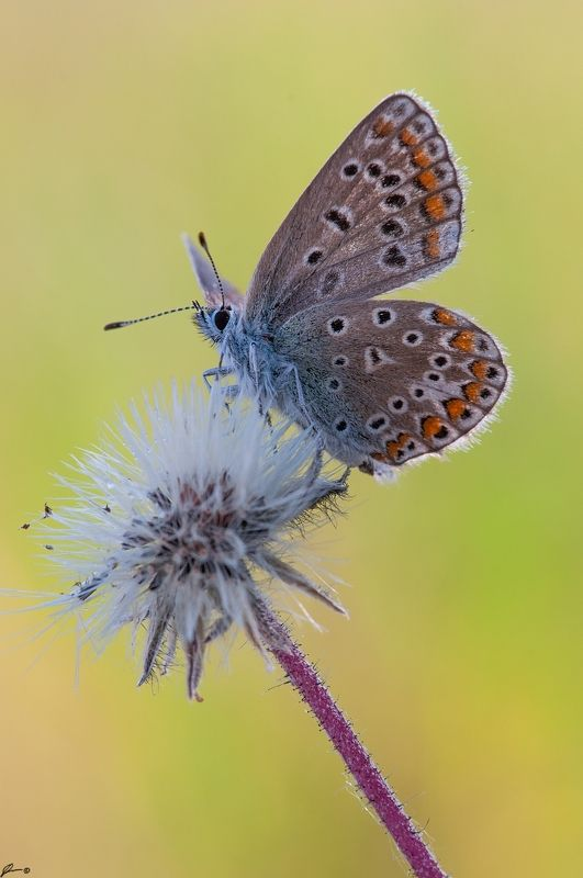 macro, makro, flowers, wild, wildlife, buttrrfly, nature Polyommatus icarusphoto preview