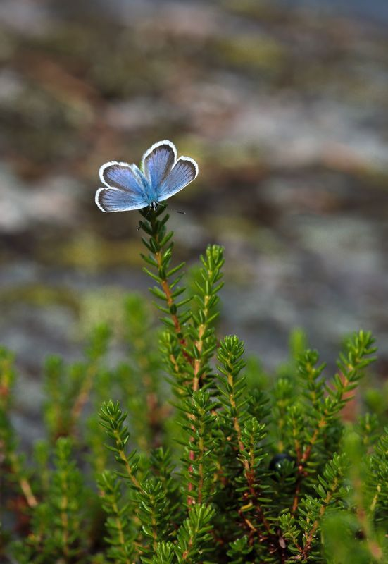 Северный цветок.photo preview