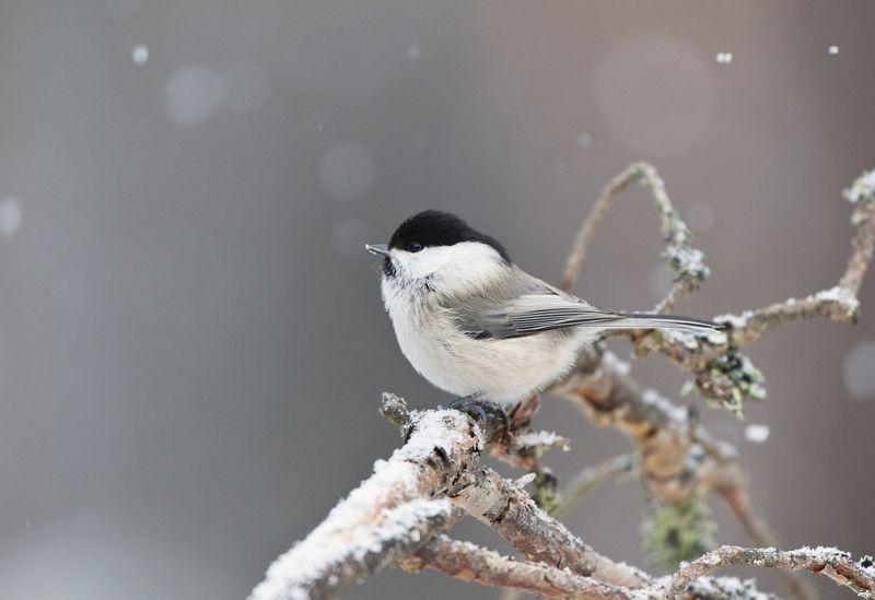 Зимний пухлякphoto preview