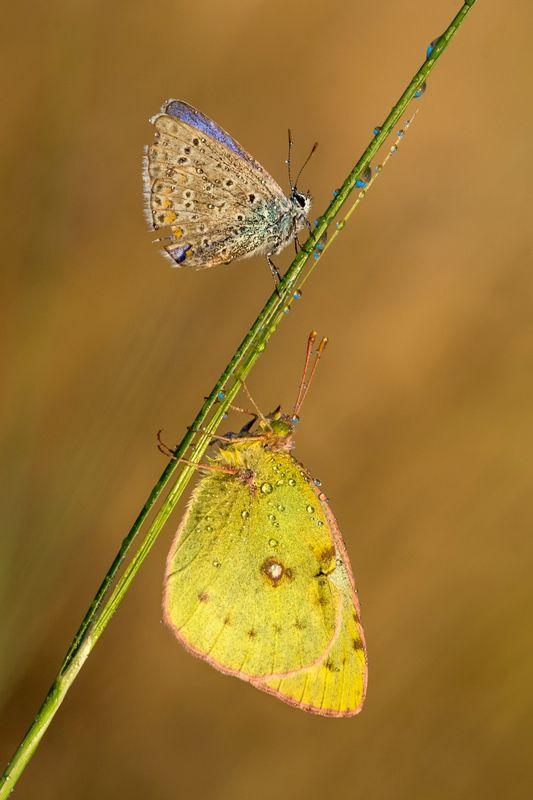 бабочка, роса, утро, икар, лимонница Икар и Лимонницаphoto preview
