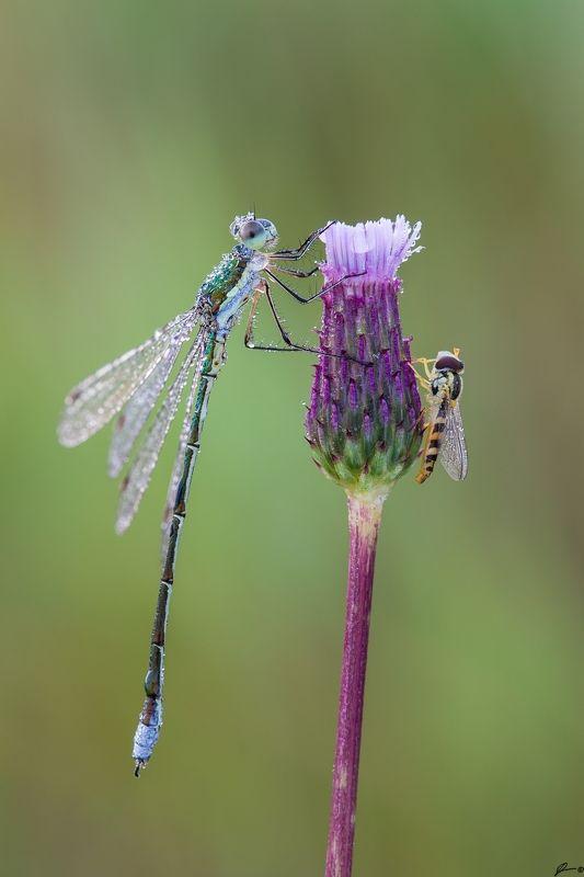macro, makro, wild, wildlife, dragonfly, nature, insect Pałątka mała (Lestes virens)photo preview
