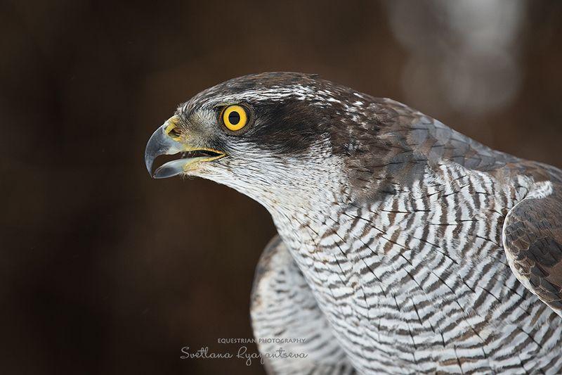hawk, bird ***photo preview