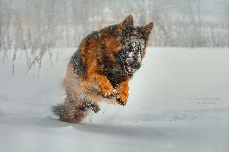 собака, зима, снег, немецкая овчарка, порода, радость, охота, движение, зимние забавы зверикphoto preview