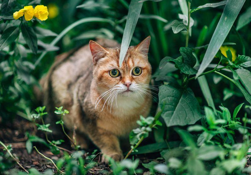 кот, коты, котик, трава, цветы, охотник Апельсинphoto preview
