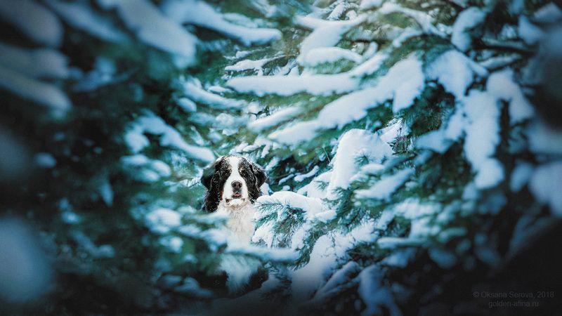 собака, бернский зенненхунд, зима, лес, снег, Россия Snow-Divingphoto preview