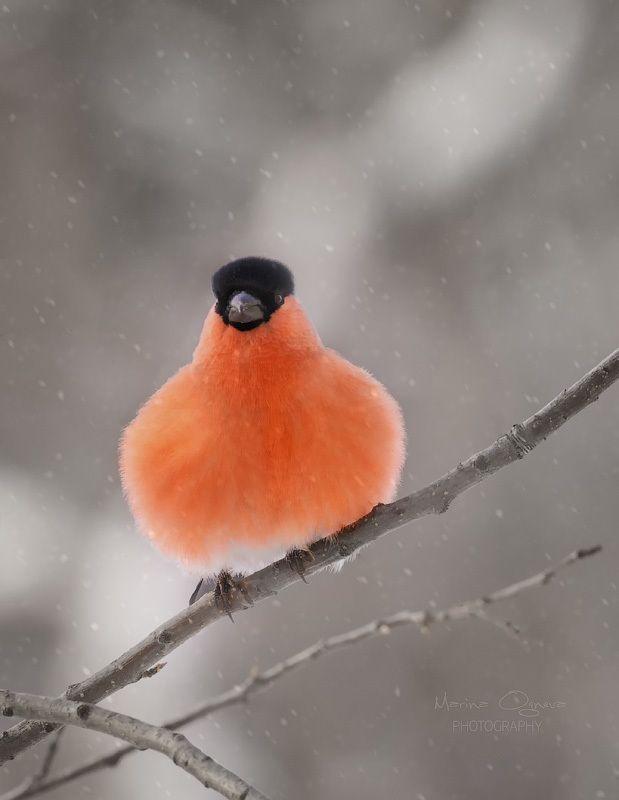 снегирь, bullfinch Из серии \