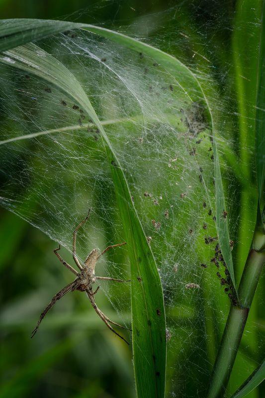 приморский край, забота, паук, потомство Опекаphoto preview