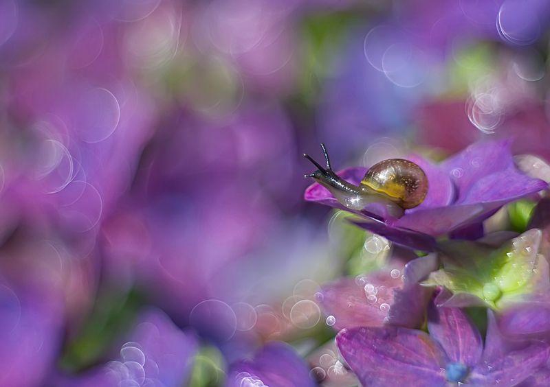 улитка, макро, природа, цветы, петцваль Сиреневый мирphoto preview