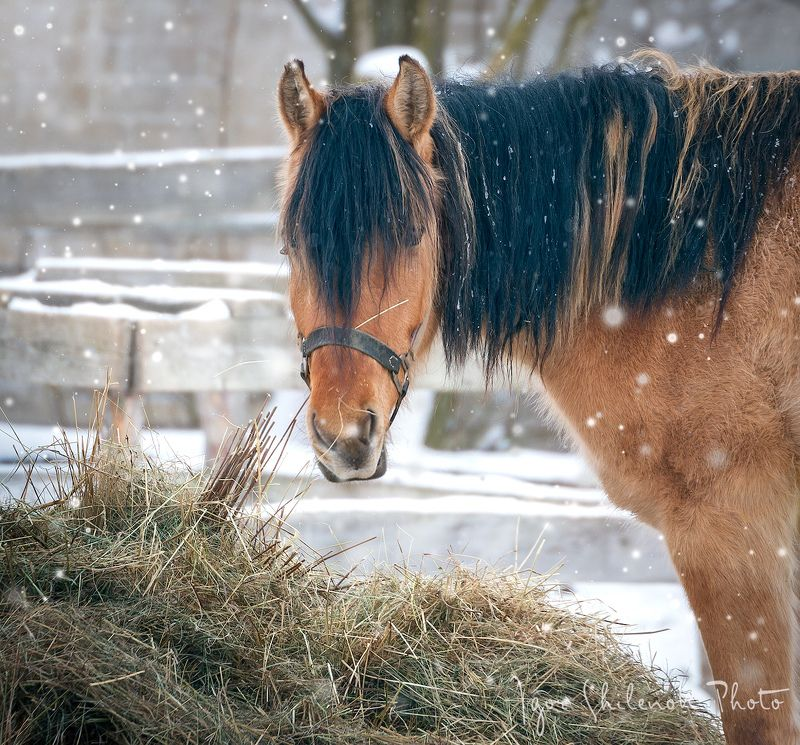 конь, зима, деревня Конь, просто коньphoto preview