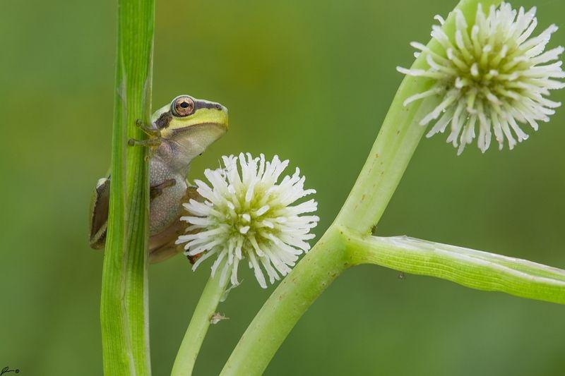 macro, makro, flowers, wild, wildlife, nature Hyla arboreaphoto preview