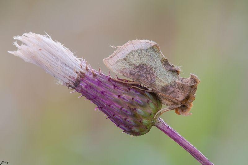 macro, makro, flowers, wild, wildlife, buttrrfly, nature Diachrysia chrysitisphoto preview