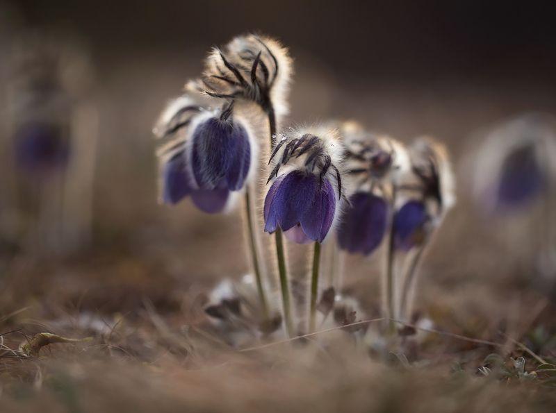 сон-трава, прострел, якутия, нерюнгри, май Скоро весна!photo preview