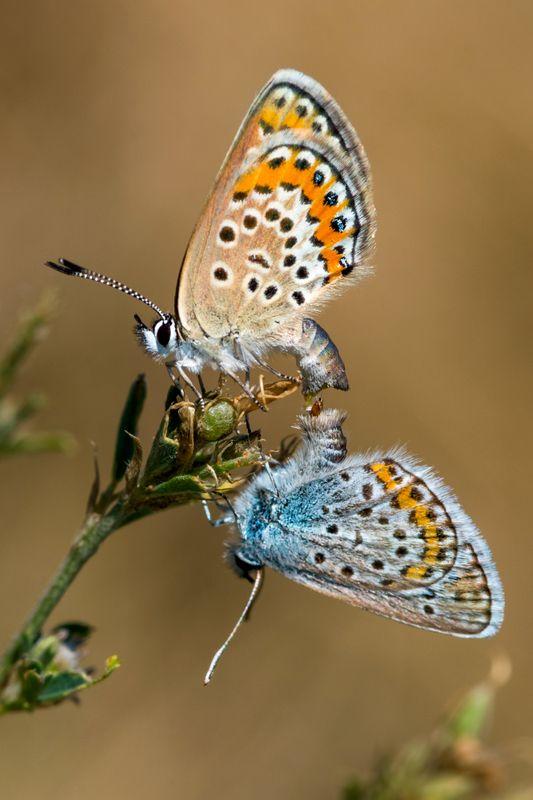 бабочка, икар, голубянка Тайная жизньphoto preview